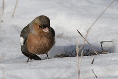 Common Chaffinch (keynowski) Tags: commonchaffinch ispinoz fringillacoelebs nature ngc animalplanet animal bird canon70d canonef400mmf56lusm