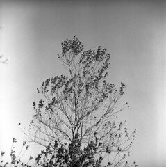 102659 03 (ndpa / s. lundeen, archivist) Tags: nick dewolf nickdewolf october bw blackwhite photographbynickdewolf 1959 1950s film 6x6 mediumformat monochrome blackandwhite mass massachusetts plymouth plimoth plantation plimothplantation museum livinghistorymuseum tree branches leaves