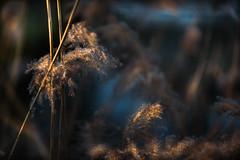 Lumières de fêtes II (Isabelle Aurore) Tags: roseaux décembre or bleu exterieur hiver winter gold nature