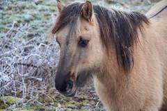 30-12-2016 - Oostvaardersplassen - DSC09388 (schonenburg2) Tags: oostvaardersplassen konikpaarden winter