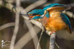 Maudites branches (Les Frères des Bois) Tags: martinpêcheur martin pecheur alcedo atthis alcedoatthis common kingfisher commonkingfisher flèchebleue camargue