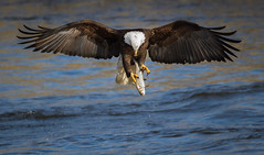 Eagle Examining the Catch (TroyMarcyPhotography.com) Tags: 11windchill americanbaldeagle canon400mmf56l canon7d illinois iowa mississippiriverbaldeagles2017 winter birds cold nature wildlife wwwtroymarcyphotographycom