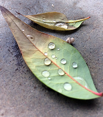 Mother Nature's Tiny Jewels (garlandcannon) Tags: nandinaleaf waterdroplets odc