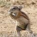 South African Ground Squirrel (Xerus inauris) female