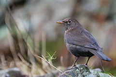 Blackbird - Female (AnnieMacD) Tags: applecross birds blackbird culduie scotland westerross wildbirds