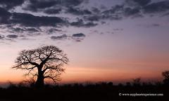 Sunset Baobab (My Planet Experience) Tags: baobab tree adansoniadigitata sunset landscape liwonde nationalpark malawi mw southern africa myplanetexperience wwwmyplanetexperiencecom