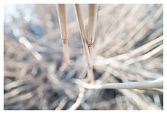 Reeds (leo.roos) Tags: reeds reed riet solleveld distagon2128zf distagon carlzeissdistagon2128 zf cz a7rii dayprime day21 dayprime2017 dyxum challenge prime primes lens lenses lenzen brandpuntsafstand focallength fl darosa leoroos