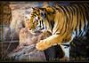 Siberian tiger (Panthera tigris altaica) (ctofcsco) Tags: 1640 1d 1div 22 200mm amur black canon cat colorado denverzoo ef200mm ef200mmf2lisusm eos1d eos1dmarkiv explore f22 mark4 markiv orange siberian tiger unitedstates usa wildlife 2015 animal bokeh denver explored geo:lat=3975024770 geo:lon=10494968870 geotagged nature northamerica statecapitol telephoto vinestreethouses wwwdenverzooorg zoo iso200 1640s renown awesome pic photo picture image co