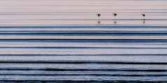Flight in straight lines (Jean-Luc Peluchon) Tags: fz1000 lumix panasonic panoramic graphic bird nature sea ocean atlantique outdoor wild wave water blue reflection hedgehopping tide brilliant