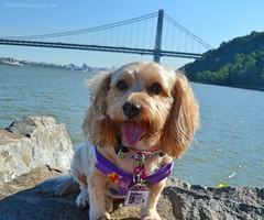 At the George Washington Bridge on George Washington's Birthday! (yourdesignerdog) Tags: ifttt wordpress all posts wordless wednesday blog cute designer dogs dog smiling george washington bridge gwb pets photography sadie tongue out
