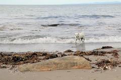 Smulan (carina.ericsson) Tags: dog jackrussel beach sand stone water sea seaweed møllebeach møllestrand dronningmølle denmark