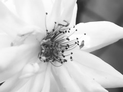 Fragilità (~Miel) Tags: fiore biancoenero blackandwhite fragile nikon coolpixl810 beginner principiante earlyspring roma rome
