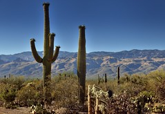 Cactus Arms and No Arms (Saguaro National Park) (thor_mark ) Tags: nikond800e saguaronationalpark saguaronationalparkrinconmountaindistricteast lookingnorth day1 capturenx2edited colorefexpro desert desertlandscape sonorandesert saguaro cactus carnegieagigantea saguarocactus outside landscape nature sunny blueskies cactusacrossdesertlandscape mountains mountainsindistance mountainsoffindistance desertplantlife intermountainwest southwestbasinsandranges southeastarizonaranges huachucaarea santacatalinamountains blackettsridge cactusforestscenicloopdrive cactusforestdrive micaviewtrail arborescenttreelikecactus engelmanspricklypearcactus opuntiaengelmannii staghornchollacactus opuntiaversicolor project365 portfolio arizona unitedstates