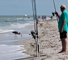 The man on the right, left looking... photo 4 of 4 (BruceLorenz) Tags: water gulf gulfofmexico birds shore indian rocks beach florida great blue heron inflight flight catfish fishing girl man looking bikini