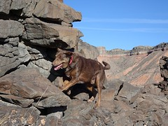 Biff On Volcanic Dike (Bob Palin) Tags: dogs utah orig:file=20170314xv00132 waynecounty usa ashotadayorso dog animal catahoula hiking club100 510fav instantfave 100vistas