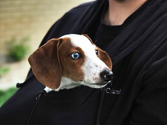 1 Eye Blue (Robert Cowlishaw-Mertonian) Tags: griffin mertonian robertcowlishaw canon powershot g1x mark ii canonpowershotg1xmarkii k9 dog puppy family 1blueeye blue beautiful ineffable awe warm