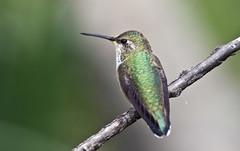 Rufous Hummingbird -- Juvenile Female (Selasphorous rufus); Santa Fe National Forest, NM, Thompson Ridge [Lou Feltz] (deserttoad) Tags: mountain newmexico bird nature forest hummingbird nationalforest migration wildbird
