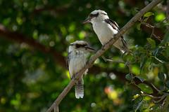 Kookaburras (Jbdorey) Tags: bird james pair lakes uq dorey kookabarra australiannature jbdorey jamesdorey