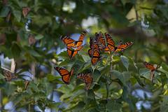 IMG_0579.jpg (erik oosterop) Tags: ontario canada fauna butterfly insect can leamington floraandfauna monarchdanausplexippus