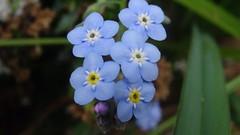 DSC02207 (Laurence Bee) Tags: flowers flower macro nature animal garden bright outdoor nectar pollen apis mellifera specnature depth field