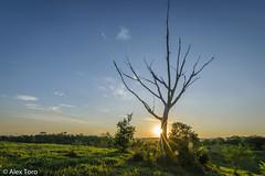 Arbol seco Atardecer (arq.alextoro) Tags: sunset paisajes tree solares landscape atardecer arboles sundown rayos doradal