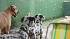 DSC03077 (agorayebm) Tags: dog bordercollie dalmatian crick dlmata