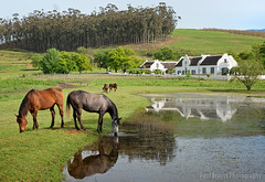 The Oaks Reflected (Panorama Paul) Tags: horses reflections southafrica farm westerncape overberg capedutch greyton nikkorlenses nikfilters nikond800 wwwpaulbruinscoza paulbruinsphotography theoaksestate