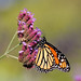 More Monarch