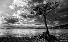 Milarrochy Evening (-- Q --) Tags: tree landscape scotland lochlomond niksoftware milarrochybay lee09softgrad silverefexpro marumidhgcpl lee09hardgrad