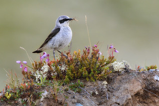 Norther Wheatear (Oenanthe oenanthe)