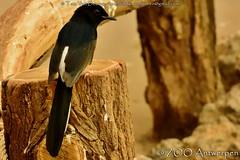 shamalijster - Copsychus malabaricus - White-rumped Shama (MrTDiddy) Tags: bird zoo antwerp shama whiterumped antwerpen zooantwerpen bogel lijster copsychus malabaricus shamalijster
