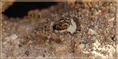 Araigne saltique, Monsaraz, Portugal (Zizouna) Tags: macro portugal araigne saltique