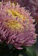 Chrysanthemum 'LeMans' 1 (wundoroo) Tags: pink november autumn newyork flower fall purple bronx mum chrysanthemum nybg kiku newyorkbotanicalgarden