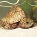 Razor-backed Musk Turtle, Hatchling