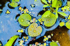 IMG_8720 (pustotamira) Tags: plant green wet water drops lily russia outdoor rainy