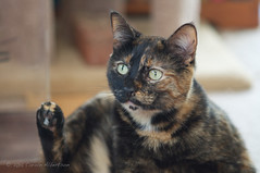 "DSC_4554 - Mistocles (SOOC) (Athtart) Tags: female cat feline december before week horsham processed tortiseshell torttie ""theme after"" 49"" 52in2015 mistoclessooc mistocles"