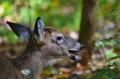 White-tailed Deer (Chad Horwedel) Tags: nashville tennessee deer fawn whitetaileddeer babydeer randorlake