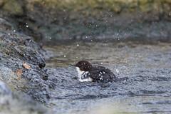 Waterspreeuw - Dipper - Cinclus cinclus-0518 (Theo Locher) Tags: netherlands birds nederland vogels vogel oiseaux dipper cincluscinclus wasseramsel waterspreeuw cincleplongeur copyrighttheolocher