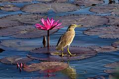 Little Bittern on Lotus (Amit Nadgeri) Tags: pink lake water photography leaf little lotus bangalore hebbal amit brid bittern nikond3200 nadgeri
