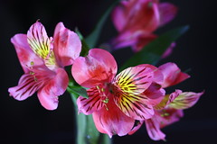 Peruvian Lily Astromelia (monyet_uk) Tags: flowers peruvianlily astromelia