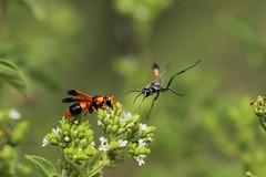 Potter wasp, wasp ballet (SUSETOZER) Tags: macro garden wasp potterwasp photobombed