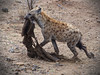 My precious! (Jorge Tarlea) Tags: áfrica africa jorgetarlea kruger southafrica sudáfrica hiena hyena carroñero carrion caza hunt feed alimento piel fur skin leather price premio presa prey