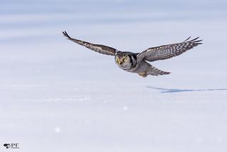 ''Scintillement!'' chouette épervière/ Northerm hawk owl