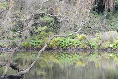 Lily Pond (Mrs Caufield) Tags: california northerncalifornia goldengatepark lilypond sanfrancisco green water reflection light shadow falling peaceful quiet branches plants nature
