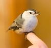 Nuthatch (Wild Birdy) Tags: mn minnesota kabekona cabin usa north nuthatch bird cute adorable whitebreasted sitta carolinensis windowstrike window winter beak bonk little