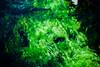 clear spring water (N.sino) Tags: m9 summiluxm50mm springwater coldwater trout aquaticplants oshinohakkai 忍野八海 湧水 鱒 水草