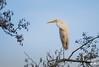 Grote Zilverreiger (Ardea alba) (gemaga20) Tags: zilverreiger great egret ardea alba