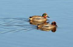 Teal Ducks? (suekelly52) Tags: ducks teal
