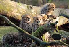 cheetah Burgerszoo JN6A9226 (j.a.kok) Tags: cheetah jachtluipaard acinonyxjubatus acinonyxjubates burgerszoo burgerzoo cat kat mammal zoogdier predator africa afrika