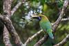 Green with Envy (Khurram Khan...) Tags: toucan toucanet emeraldtoucanet birdphotography birds birding wildlife wildlifephotography wild winter costarica wwwkhurramkhanphotocom nikonnofilter iamnikon
